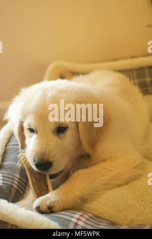 English cream golden Retriever Puppy - Stock Photo