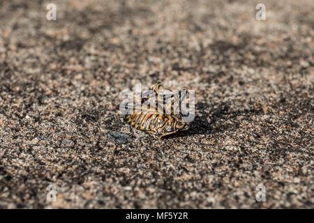 Brown marmorated stink bug (Halyomorpha halys) on its back - Stock Photo