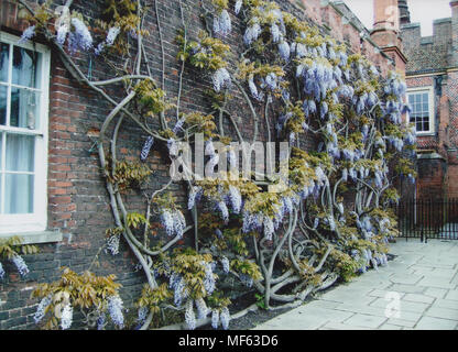 Climbing Wisteria on a Wall at Hampton Court Palace in April 2018 - Stock Photo