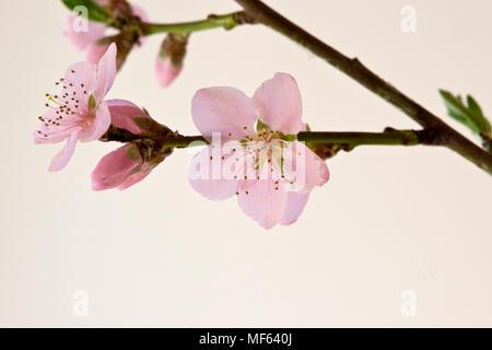 Nectarine Blossom - Stock Photo
