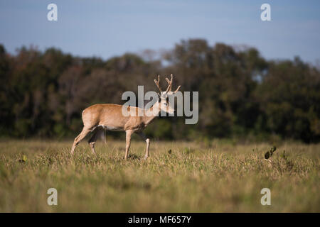 A male Pampas Deer (Ozotoceros bezoarticus) from South Pantanal - Stock Photo