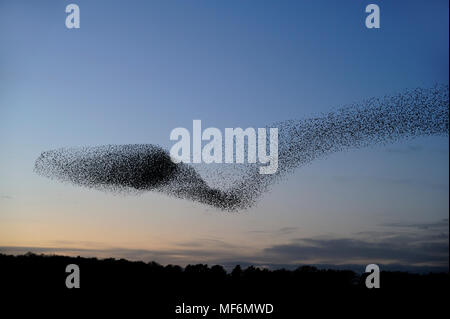 Starling, Sturnus vulgaris, murmuration at RSPB Minsmere, with approximately 40000 birds contorted into unusual shapes, Suffolk, February - Stock Photo