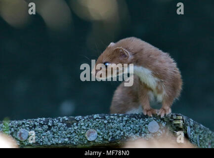Eurasian Weasel/Least Weasel (mustela nivalis), UK - Stock Photo
