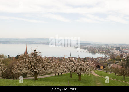 Landscape photograph of small city Zug near lake in morning in Switzerland. Aerial image of Zug city. Cheery trees with flowers - Stock Photo