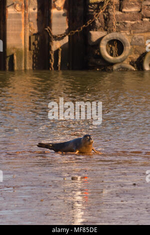 A lone common seal pup in the shallow waters in front of Turf Lock at the entrance to the Exeter Canal on the shores of River Exe in Devon, England - Stock Photo