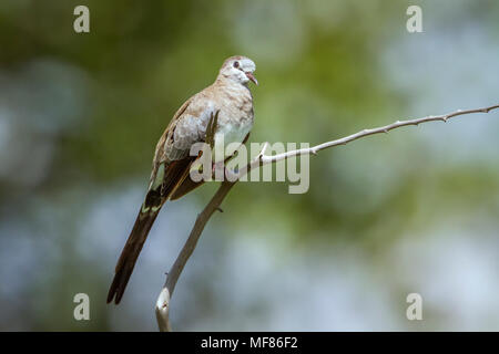 Namaqua dove in Mapungubwe national park, South Africa ; Specie Oena capensis family of Columbidae - Stock Photo