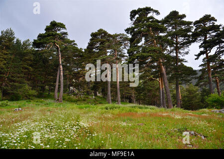 Group of Scots pines (Pinus sylvestris) along a green meadow in Fuenfría Valley (Guadarrama National Park, Comunidad de Madrid, Spain) - Stock Photo