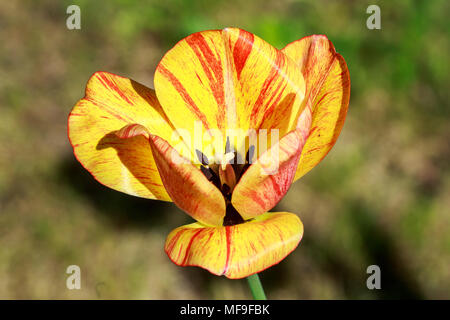 Tulips form a genus of spring-blooming perennial herbaceous bulbiferous geophytes. The flowers are usually large, showy and brightly coloured. - Stock Photo