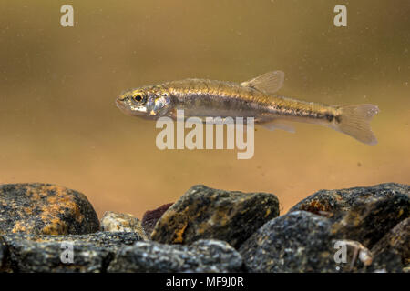 Eurasian minnow (Phoxinus phoxinus) is a small species of freshwater fish in the carp family Cyprinidae. Swimming in river with rocky bottom. - Stock Photo