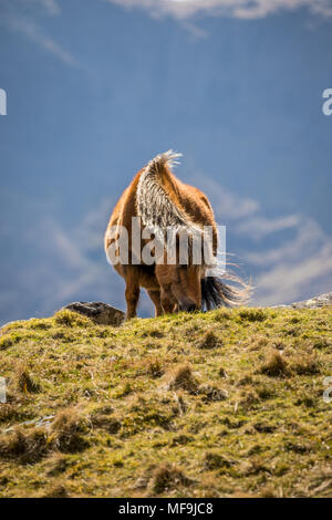 The wild ponies of the Carneddau mountain range in northern Snowdonia are such hardy, incredible animal. Very curious and unphased by humans. - Stock Photo