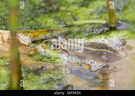 Marsh frog (Rana ridibunda) April 2018. A little croaking and plenty of frothing on the water around them. Mostly hiding in algae and vegetation. - Stock Photo