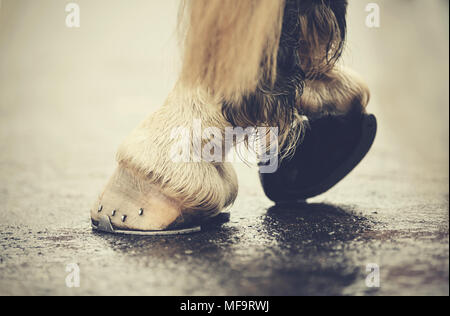The hoofs with horseshoes. Hoofs of the horse standing on asphalt. - Stock Photo