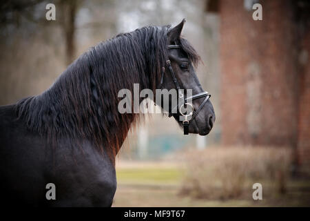 Black stallion. Portrait of a sports black horse. Thoroughbred horse. Beautiful horse. - Stock Photo