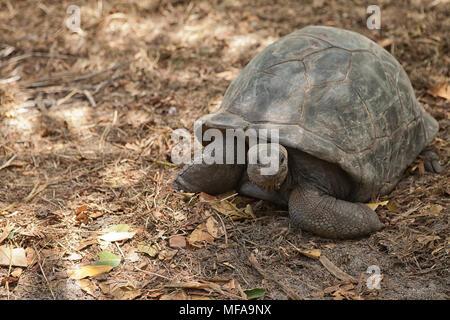 Seychelles giant tortoise. Praslin island, Seychelles - Stock Photo