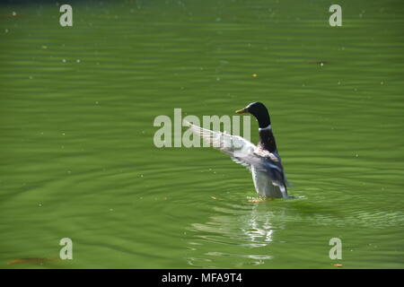 A happy duck walking on water and waving at the passerby - Stock Photo