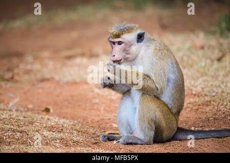 Toque macaque Sri Lanka - Stock Photo