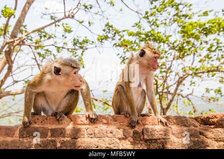 Red faces macaque (Macaca fuscata) on top of the  SIgiriya mount - Stock Photo