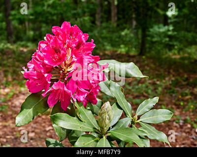 Dark red Nova Zembla Rhododendron plant blooming in a garden setting, Montgomery Alabama, USA. - Stock Photo