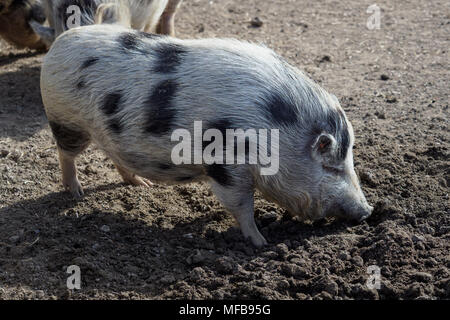 Piglet (Sus scrofa domestica) at an organic farm - Stock Photo