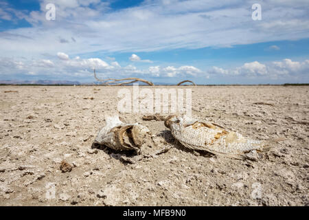 Dead fish lying on the dry sea bed at the Salton Sea - Stock Photo