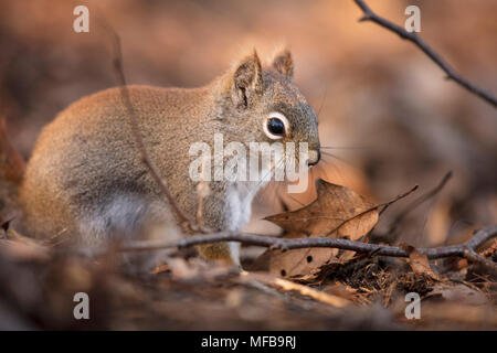 MAYNOOTH, ONTARIO, CANADA - April 23, 2018: A red squirrel (Tamiasciurus hudsonicus), part of the Sciuridae family forages for food.  ( Ryan Carter ) - Stock Photo