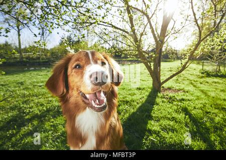 Springtime on the garden. Cute and friendly dog (Nova Scotia Duck Tolling Retriever) sitting under tree on the garden during sunset. - Stock Photo