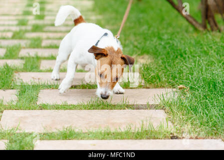 Dog pulling leash tries to eat something from ground - Stock Photo