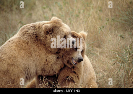 HIMALAYAN BROWN BEARS Ursus arctos isabellinus courting - Stock Photo