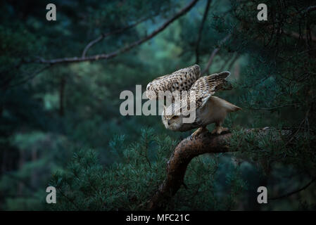 Siberian Eagle owl / bubo bubo sibiricus / Owl in forest - Stock Photo
