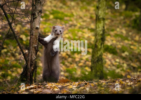The beech marten looking directly on camera / Cute animals / martes foina / marten in autumn - Stock Photo