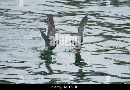 Inca Tern (Larosterna inca) WILD, Pair arguing, Pucusana , Peru - Stock Photo