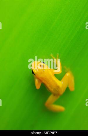 Golden Rocket Frog ( Anomaloglossus beebei), Endemic to giant tank bromeliad plants. Kaieteur Falls, Kaieteur National Park, Guyana - Stock Photo