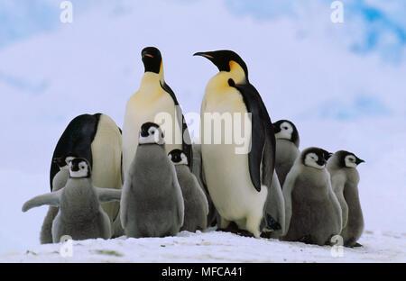 EMPEROR PENGUINS  Aptenodytes forsteri & group of young  Antarctica - Stock Photo
