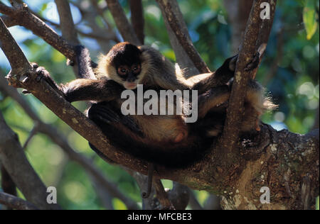 CENTRAL AMERICAN SPIDER MONKEY  Ateles geoffroyi panamensis male. Corcovado NP, Costa Rica - Stock Photo
