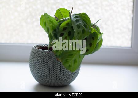 Maranta leuconeura plant in light blue ribbed pot isolated on white near window - Stock Photo