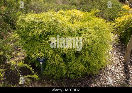 Chamaecyparis obtusa Kanamachiba evergreen conifer in an English garden - Stock Photo