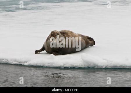 Bearded seal on ice floe, Erignathus barbatus; Spitsbergen. - Stock Photo