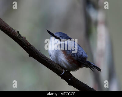 Eurasian nuthatch in its natural habitat in Denmark - Stock Photo