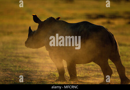 WHITE RHINOCERO at dusk Ceratotherium simum Mkhaya Game Reserve, Swaziland - Stock Photo