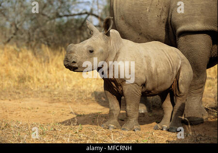 WHITE RHINOCERO young Ceratotherium simum Mkhaya Game Reserve, Swaziland - Stock Photo
