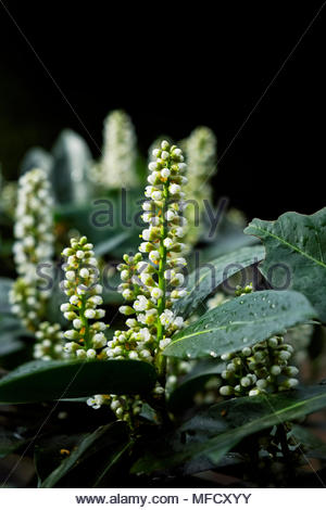 New growth in springtime on Kirschlorbeer, or cherry laurel, Prunus laurocerasus - Stock Photo
