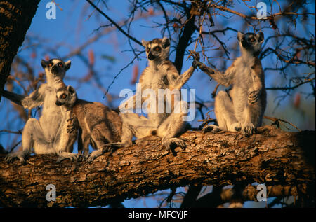 RING-TAILED LEMURS Lemur catta group basking on branch in morning, South west Madagascar - Stock Photo