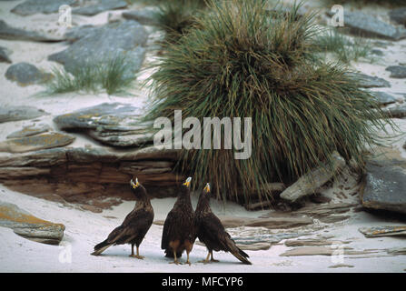 STRIATED CARACARA group calling Phalcoboenus australis New Island, Falkland Islands - Stock Photo