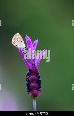 Butterfly and Spanish lavender (Lavandula stoechas), Sierra de Guadarrama, Madrid, Spain, Europe - Stock Photo
