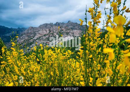 COMMON BROOM - RETAMA NEGRA (Cytisus scoparius),  common broom or Scotch broom, La Pedriza, Sierra de Guadarrama, Madrid, Spain, Europe - Stock Photo