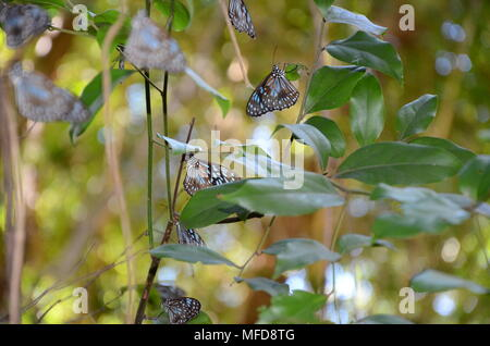 Tirumala limniace, the blue tiger butterfly, magnetic island - Stock Photo