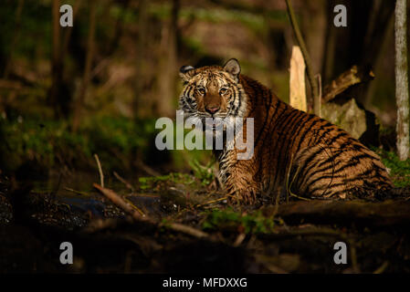 Siberian tiger female sitting in water / Tiger in water / Panthera tigris altaica - Stock Photo