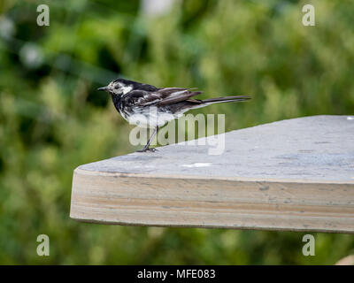 A pied wagtail (Motacilla alba yarrellii) sitting on a bench - Stock Photo