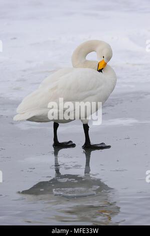 Whooper swan, Cygnus cygnus; Hokkaido, Japan. - Stock Photo