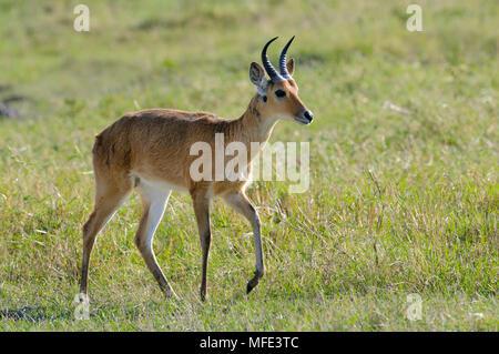 Male reedbuck, Redunca redunca; Masai Mara, Kenya. - Stock Photo